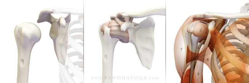 anatomic_shoulder_stabilizers