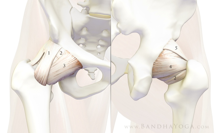hip_ligaments